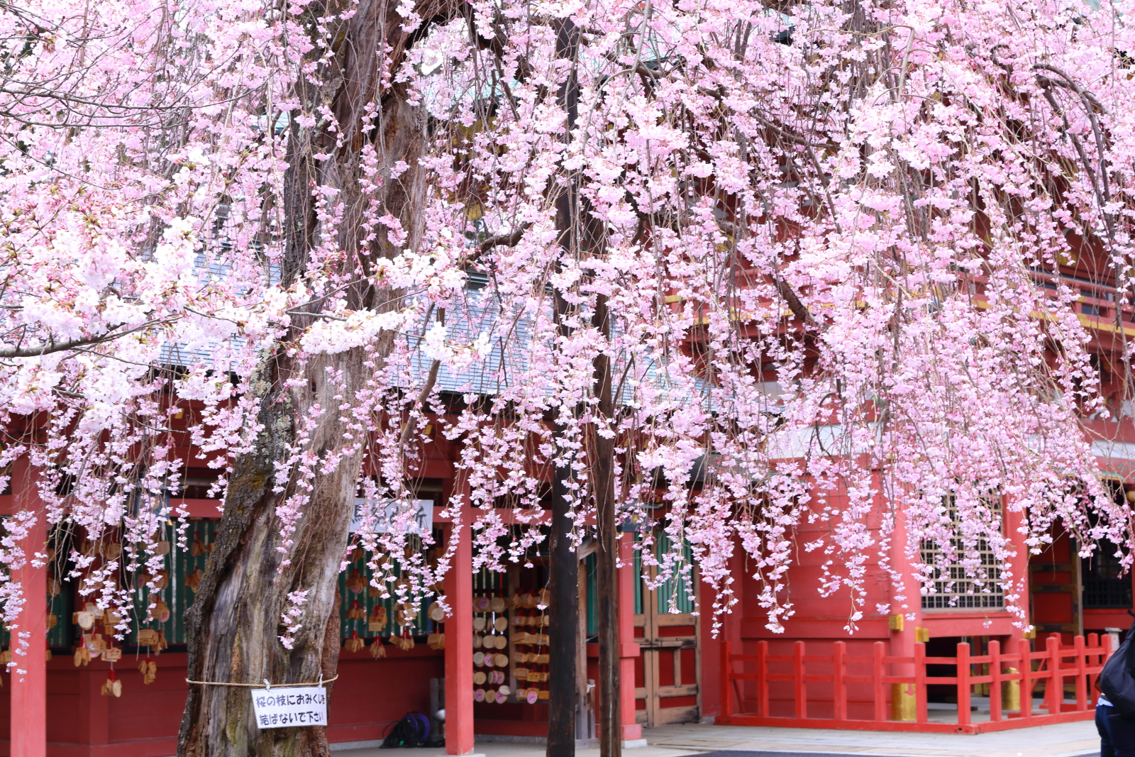 塩釜神社の桜