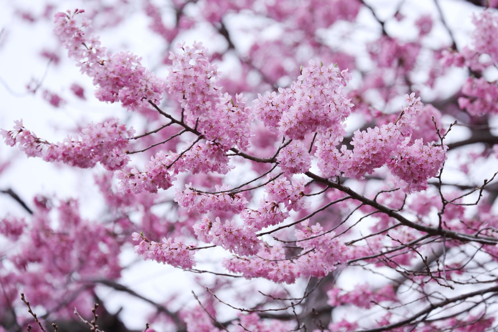 榴岡公園の桜(ちょっと早い)